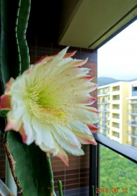 サボテンの花2つ目大きい2019.8.12