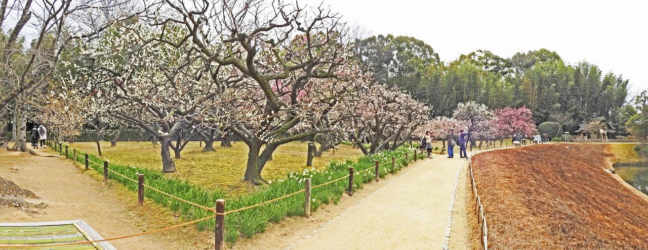 20190227 後楽園今日の梅林入り口付近から眺めた梅林の花の様子ワイド風景 (1)