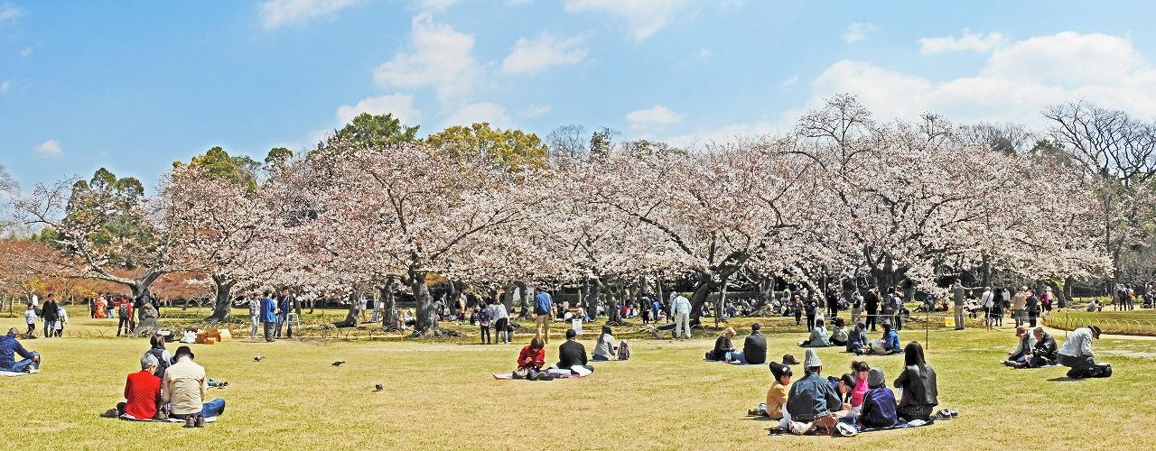 20190404 後楽園今日の園内イベント広場から眺めた桜林の様子ワイド風景 (1)