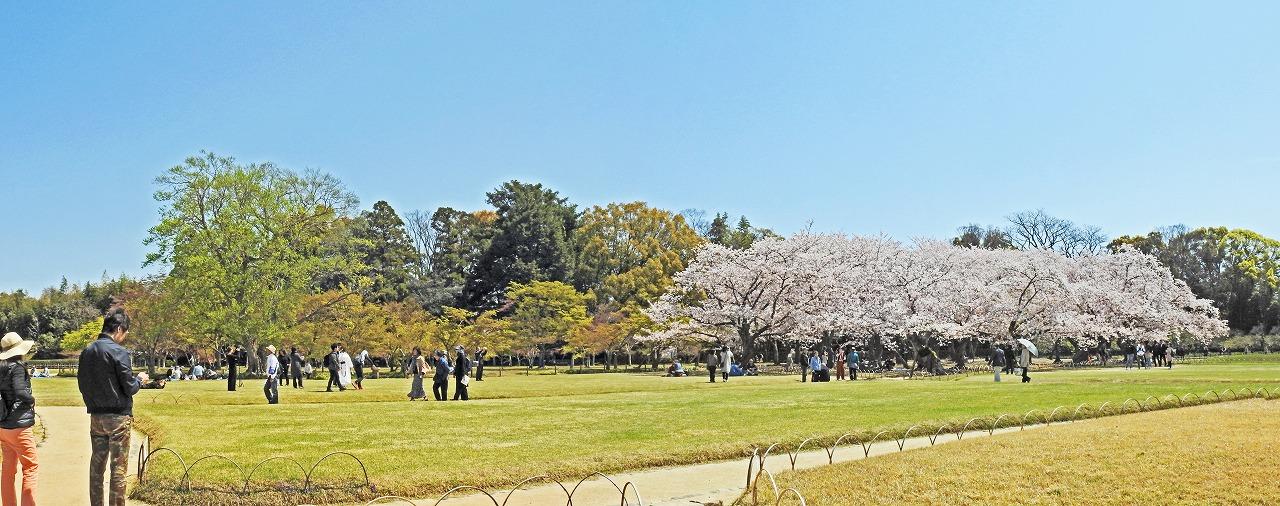 20190409 後楽園今日の園内流店側から眺めた千入の森と桜林の様子ワイド風景 (1)