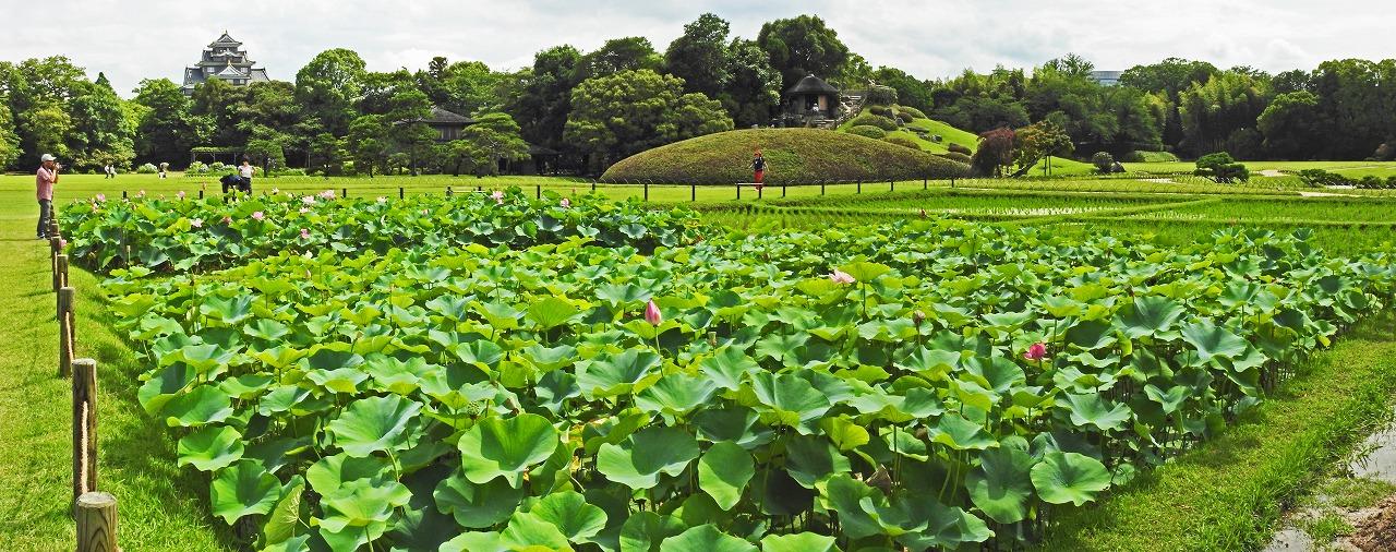 20190630 後楽園今日の午後の井田の大賀蓮の様子ワイド風景 (1)