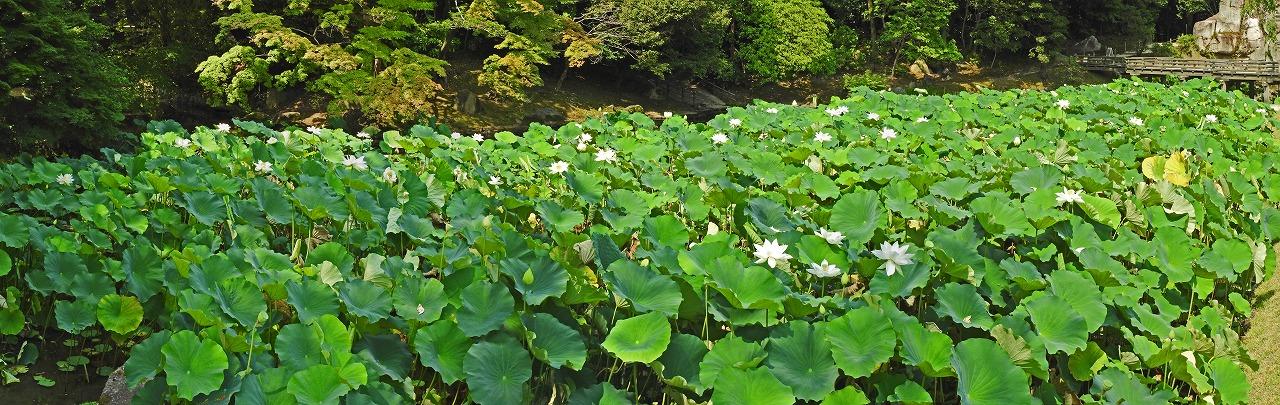 20190708 後楽園今日の花葉の池の一天四海の花の様子を入り口石段から眺めたワイド風景 (1)