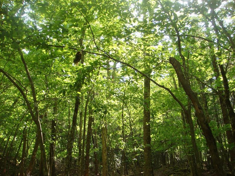 大室山の麓の新緑