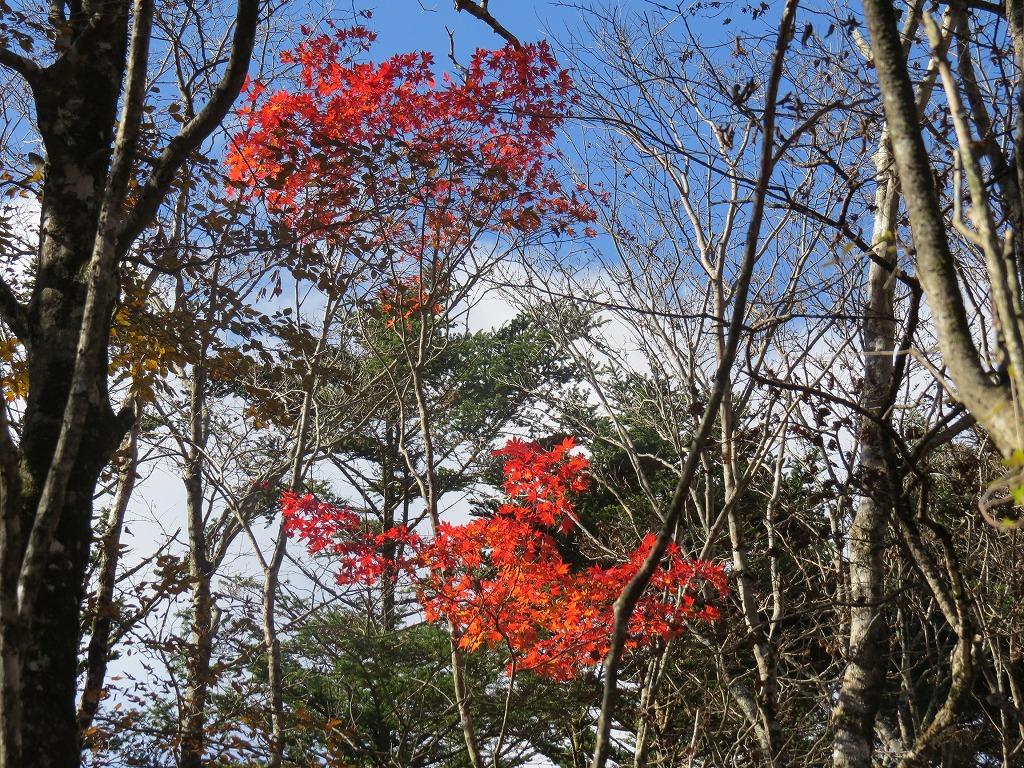 富士山麓ガイドオオモミジ