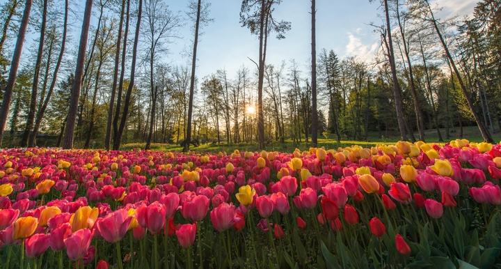plant-field-flower-tulip-flowering-plant-lily-family-8280-pxhere-com.jpg