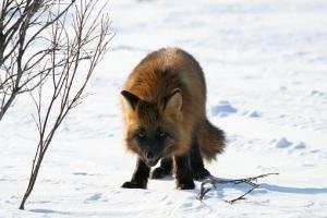 fox-2514836__340.jpg