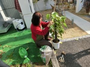 ポトスの植え替えをして頂いています
