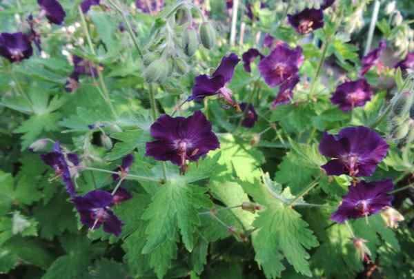 黒花フウロ草