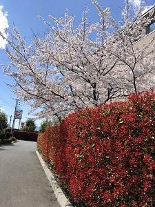 2091カナメと桜