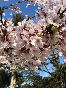粟津温泉 桜 満開