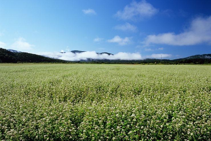 朝のそば畑