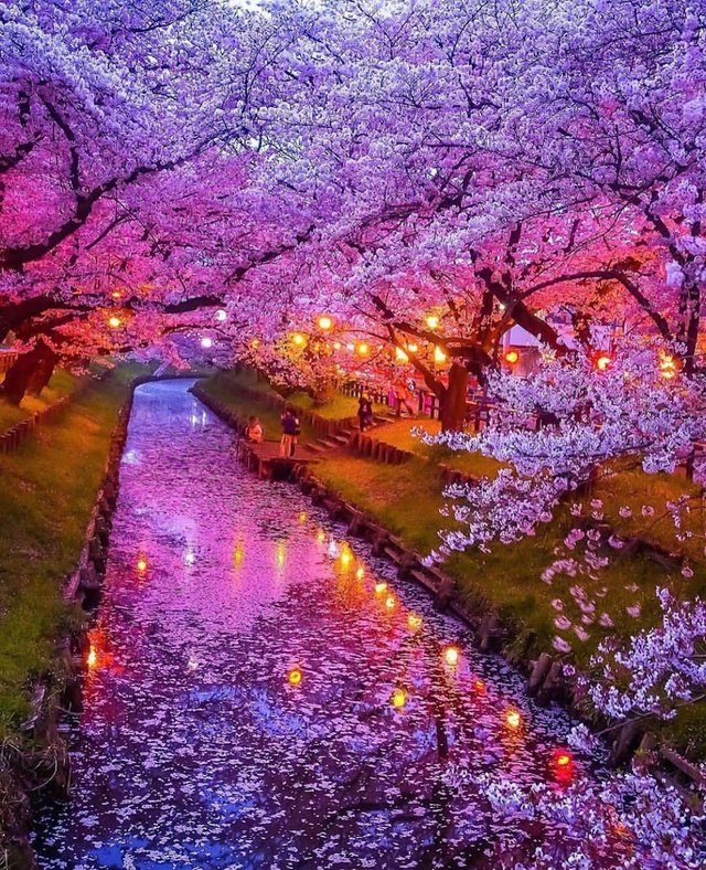 海外「すごく綺麗」 満開の桜が...