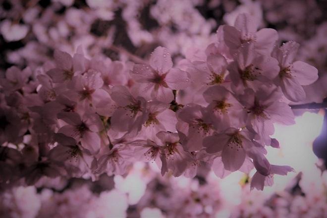 2019千鳥ヶ淵の桜(3)