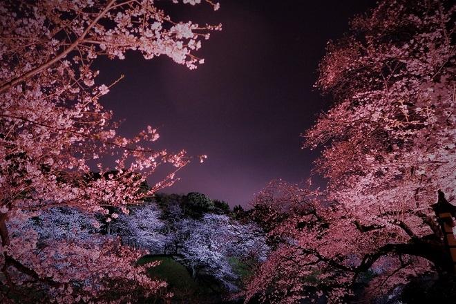 2019千鳥ヶ淵の桜(4)