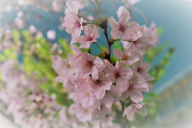2019千鳥ヶ淵の桜(5)