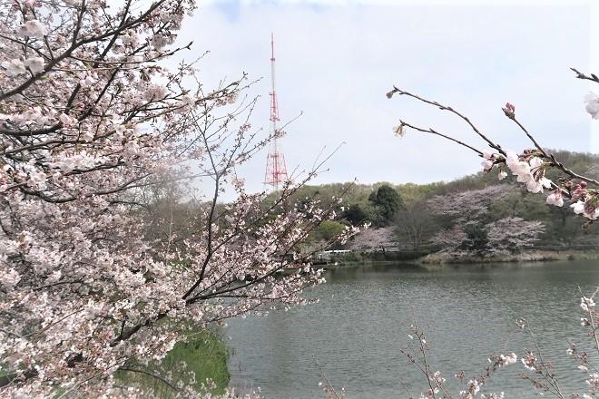 2019三ツ池公園の桜(2)