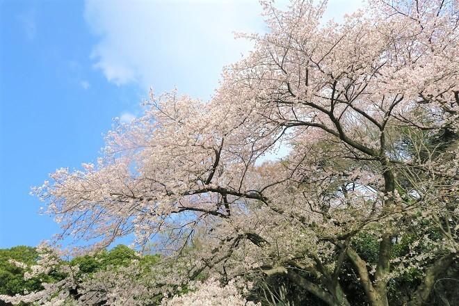 2019三ツ池公園の桜(4)