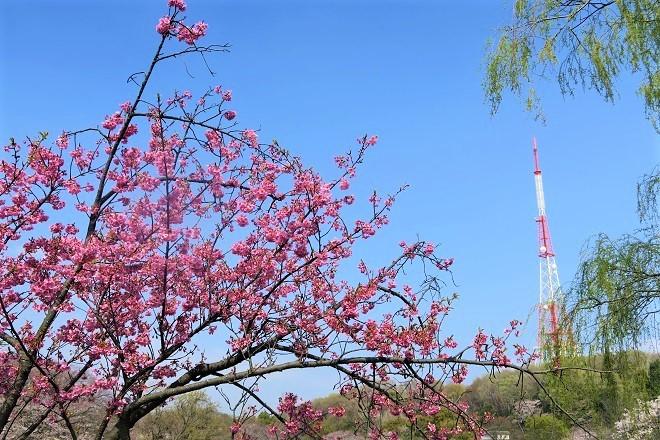 2019三ツ池公園の桜(5)