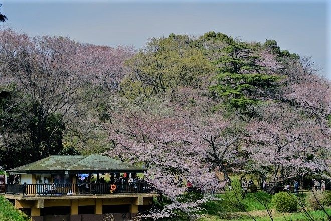 2019三ツ池公園の桜(6)