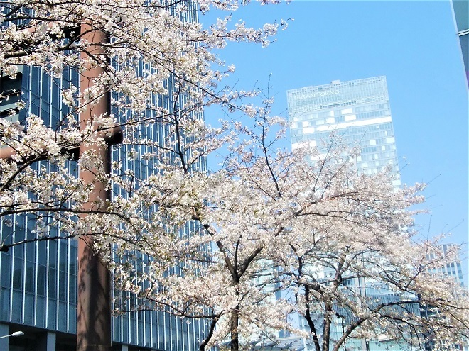 2019日本橋の桜(1)
