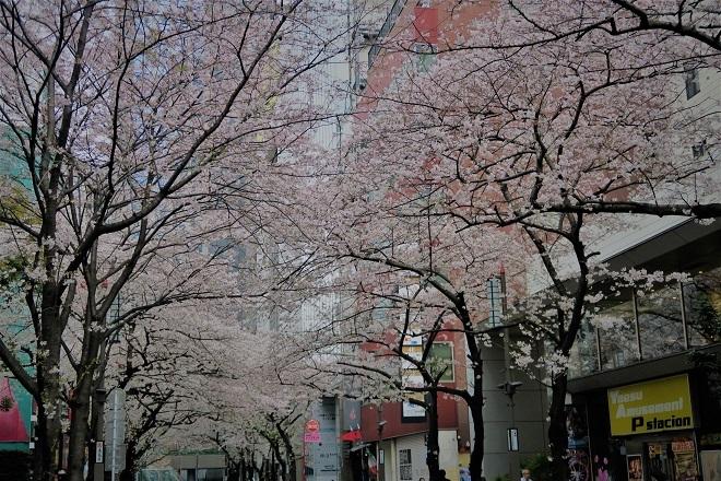 2019日本橋の桜(4)