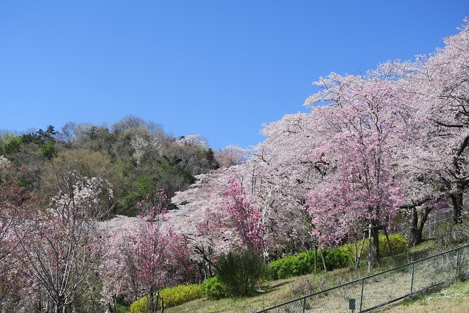 2019桜 さがみ湖プレジャーフォレストの桜(4)