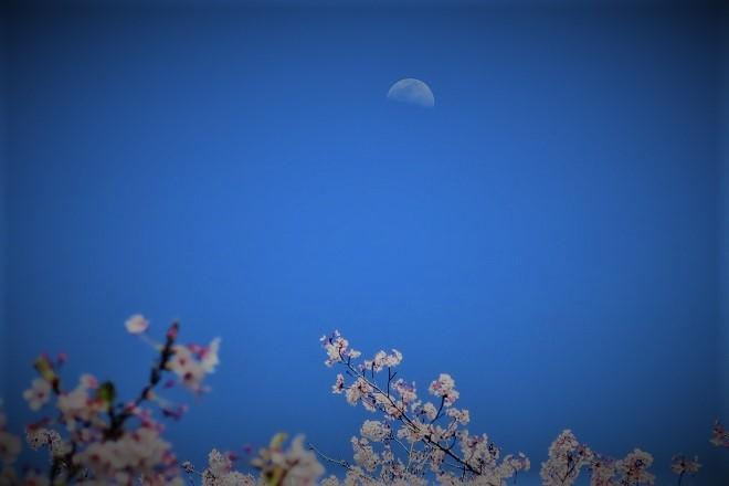 2019桜 さがみ湖プレジャーフォレストの桜(5)