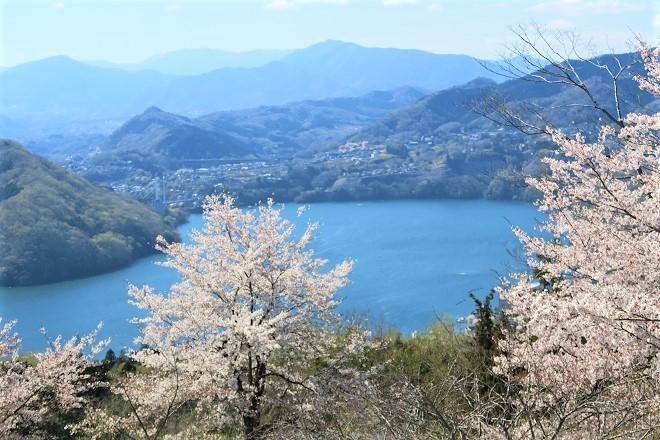 2019桜 さがみ湖プレジャーフォレストの桜(6)