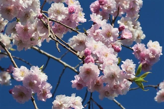 2019桜 さがみ湖プレジャーフォレストの桜(7)