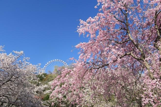 2019桜 さがみ湖プレジャーフォレストの桜(11)