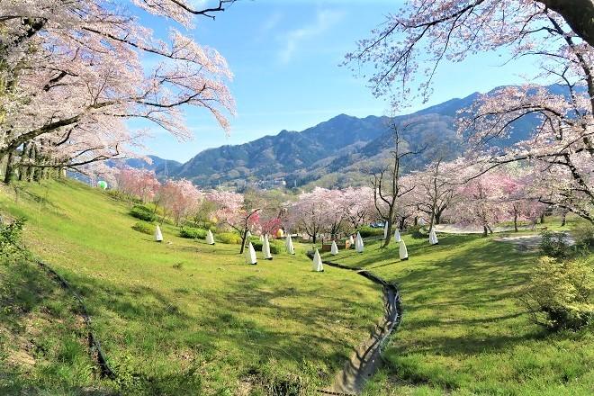 2019桜 さがみ湖プレジャーフォレストの桜(12)