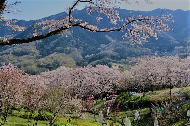 2019桜 さがみ湖プレジャーフォレストの桜(13)