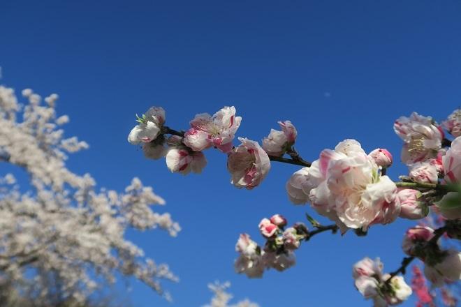 2019桜 さがみ湖プレジャーフォレストの桜(14)