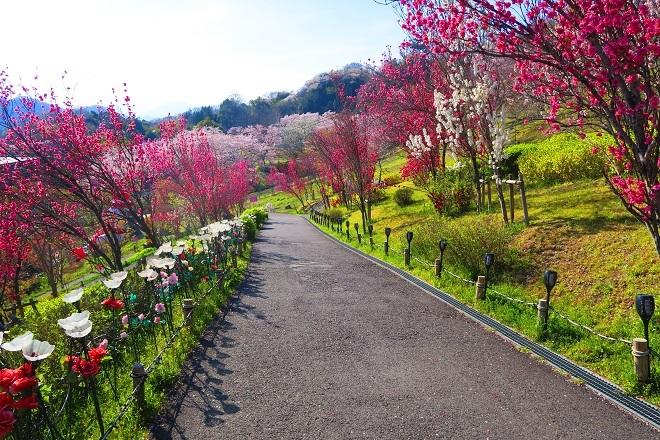 2019桜 さがみ湖プレジャーフォレストの桜(15)