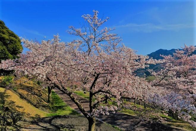 2019桜 さがみ湖プレジャーフォレストの桜(19)