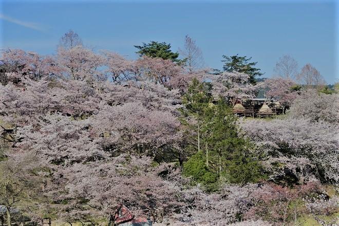 2019桜 さがみ湖プレジャーフォレストの桜(20)