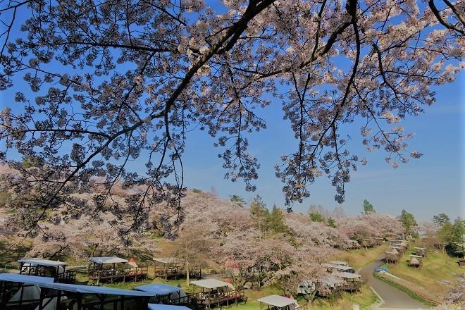 2019桜 さがみ湖プレジャーフォレストの桜(21)