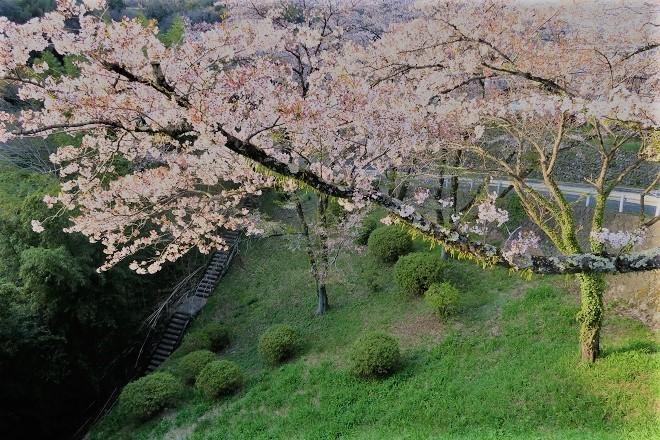 2019相模湖と相模ダムの桜(1)