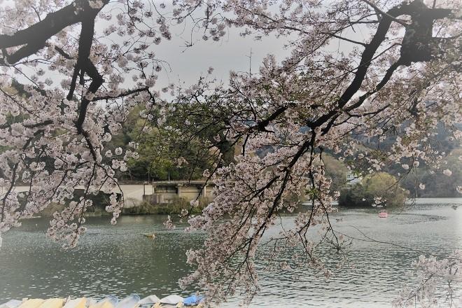 2019相模湖と相模ダムの桜(4)