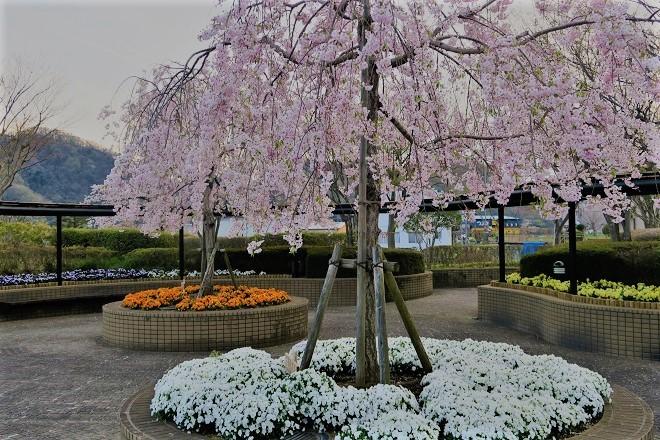 2019相模湖と相模ダムの桜(5)