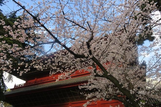 2019増上寺の桜(1)
