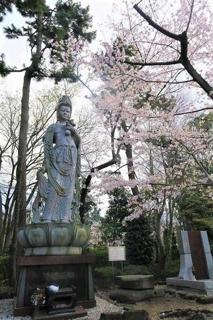 2019増上寺の桜(2)