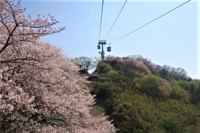 2019 よみうりランドの桜(2)