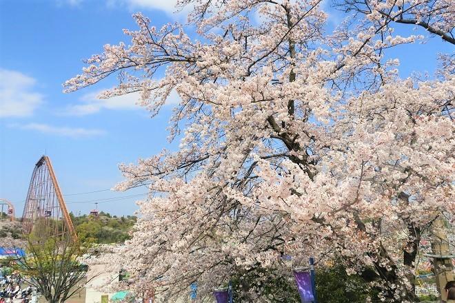 2019 よみうりランドの桜(4)