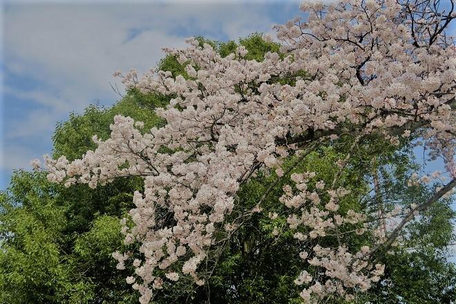 2019 よみうりランドの桜(5)