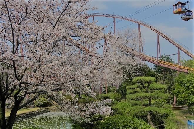 2019 よみうりランドの桜(6)