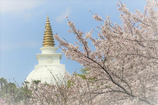 2019 よみうりランドの桜(8)