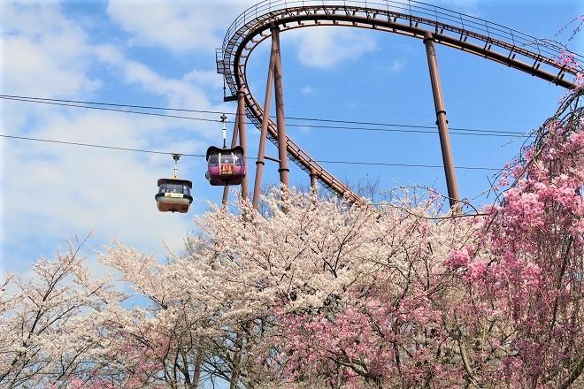 2019 よみうりランドの桜(9)