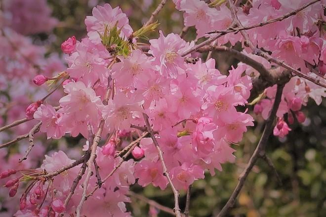 2019 よみうりランドの桜(10)