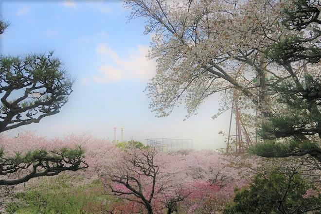 2019 よみうりランドの桜(12)